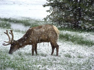 Elk in June snow